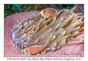 Pink Anemonefish in Magnificent Anemone