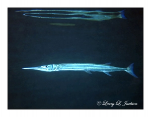 Crocodile Needlefish