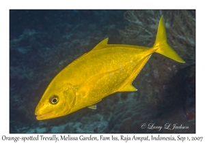 Orange-spotted Trevally