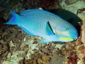Terminal Phase Indian Steepheaded Parrotfish