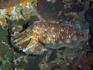 Pharaoh's Cuttlefish depositing eggs