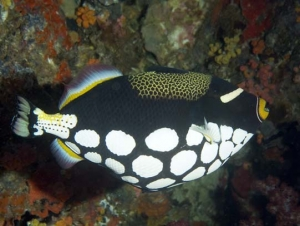 Female Clown Triggerfish