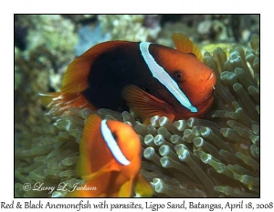 Red & Black Anemonefish withparasites