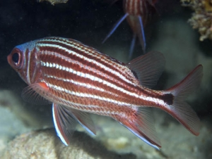 Three-spot Squirrelfish