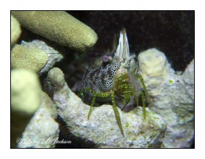 Coral Marbled Shrimp
