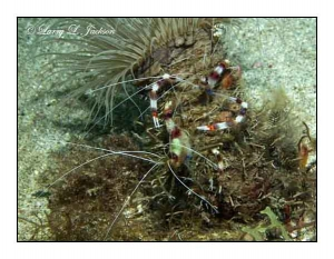 Banded Coral Shrimp pair on Tube Anemone