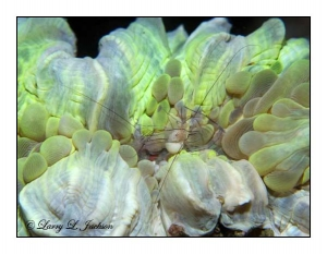 Bubble Coral Shrimp pair