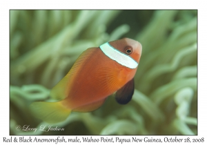Red & Black Anemonefish, male