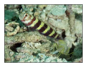 Snapping Shrimp and Partner Goby