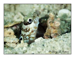 Blackchin Jawfish