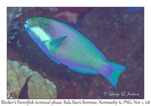 Bleeker's Parrotfish terminal phase