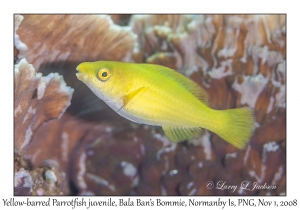 Yellow-barred Parrotfish juvenile phase