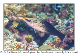 Pacific Bird Wrasse initial phase