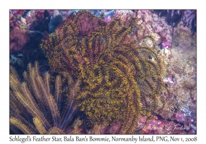 Schlegel's Feather Star