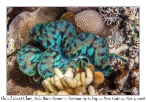 Fluted Giant Clam