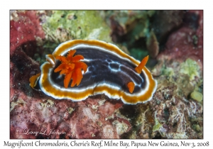Magnificent Chromodoris