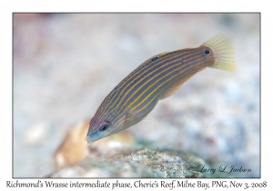 Richmond's Wrasse intermediate phase