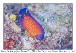 Two-spined Angelfish