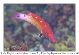 Redfin Hogfish terminal phase