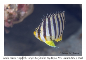 Multi-barred Angelfish