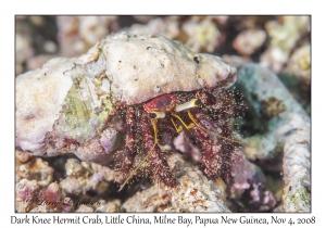 Dark Knee Hermit Crab