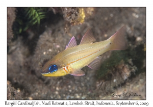 Bargill Cardinalfish