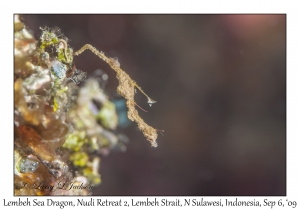 Lembeh Sea Dragon
