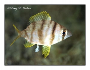 Gray Large-eye Bream juvenile