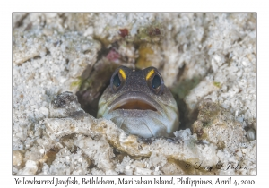Yellowbarred Jawfish