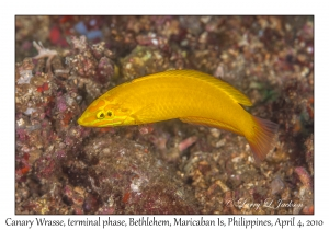 Canary Wrasse