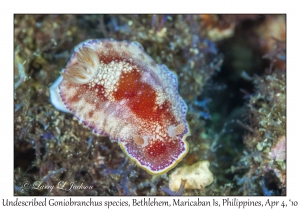Undescribed Goniobranchus species