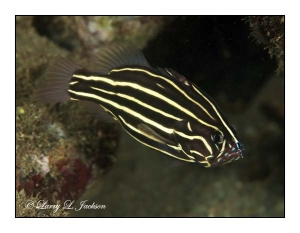 Six-lined Soapfish