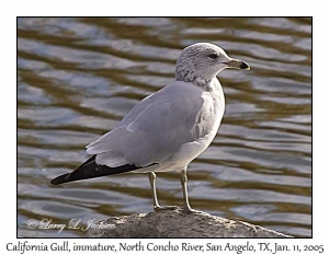 California Gull, immature
