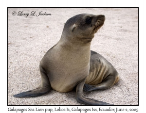 Galapagos Sea Lion, pup
