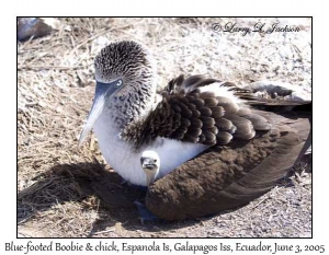 Blue-footed Boobie & chick