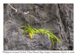Philippine Ground Orchid