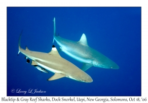 Blacktip & Gray Reef Shark