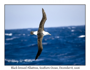 Campbell Black-browed Albatross