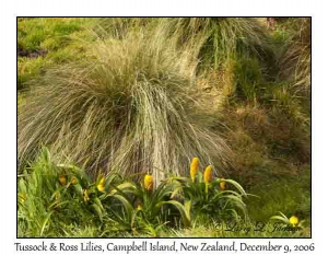 Tussock & Ross Lilies