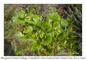 Macquarie Island Cabbage