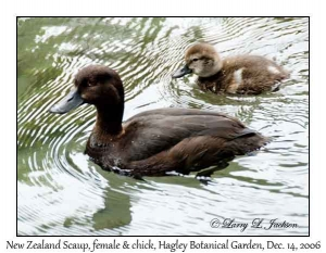 New Zealand Scaup, female & chick