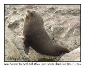 New Zealand Fur Seal, bull