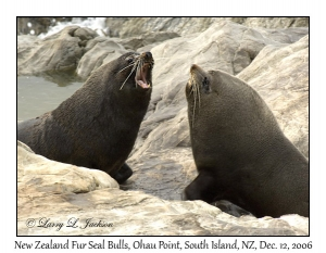 New Zealand Fur Seals, fighting