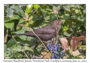 Eurasian Blackbird female