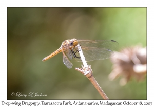 Drop-wing Dragonfly
