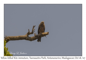 Yellow-billed Kite immature