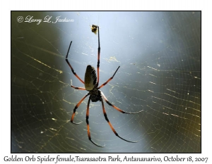 Golden Orb Spider, female