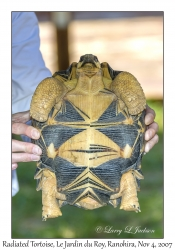 Madagascar Radiated Tortoise