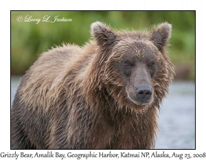 Grizzly Bear, female