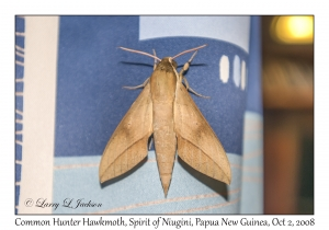 Common Hunter Hawkmoth